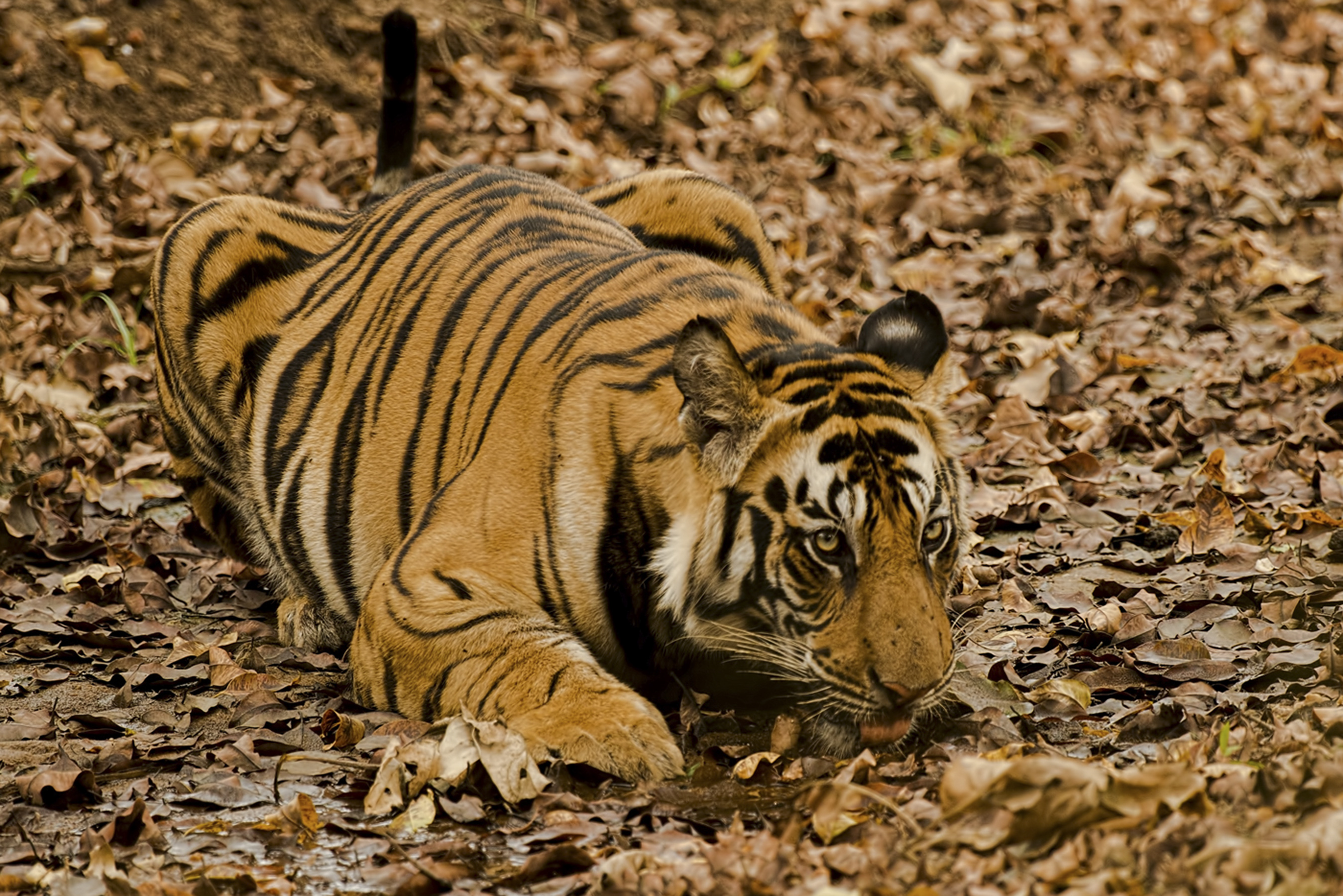 Tiger laying on ground
