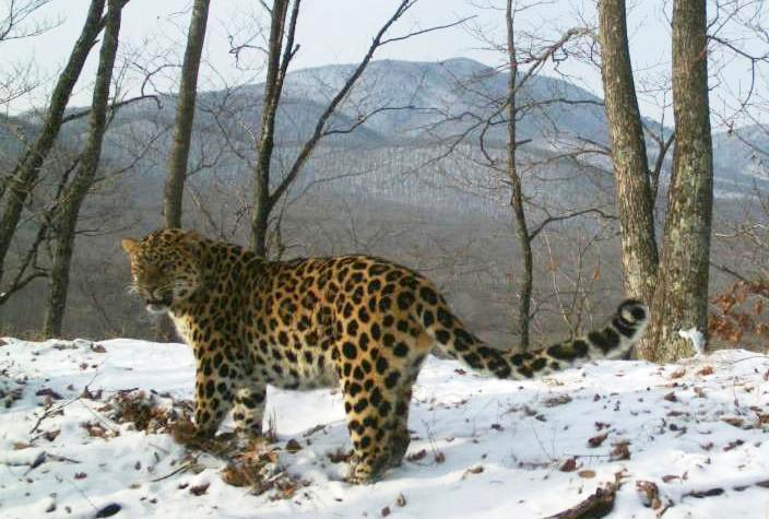 Far Eastern Leopard