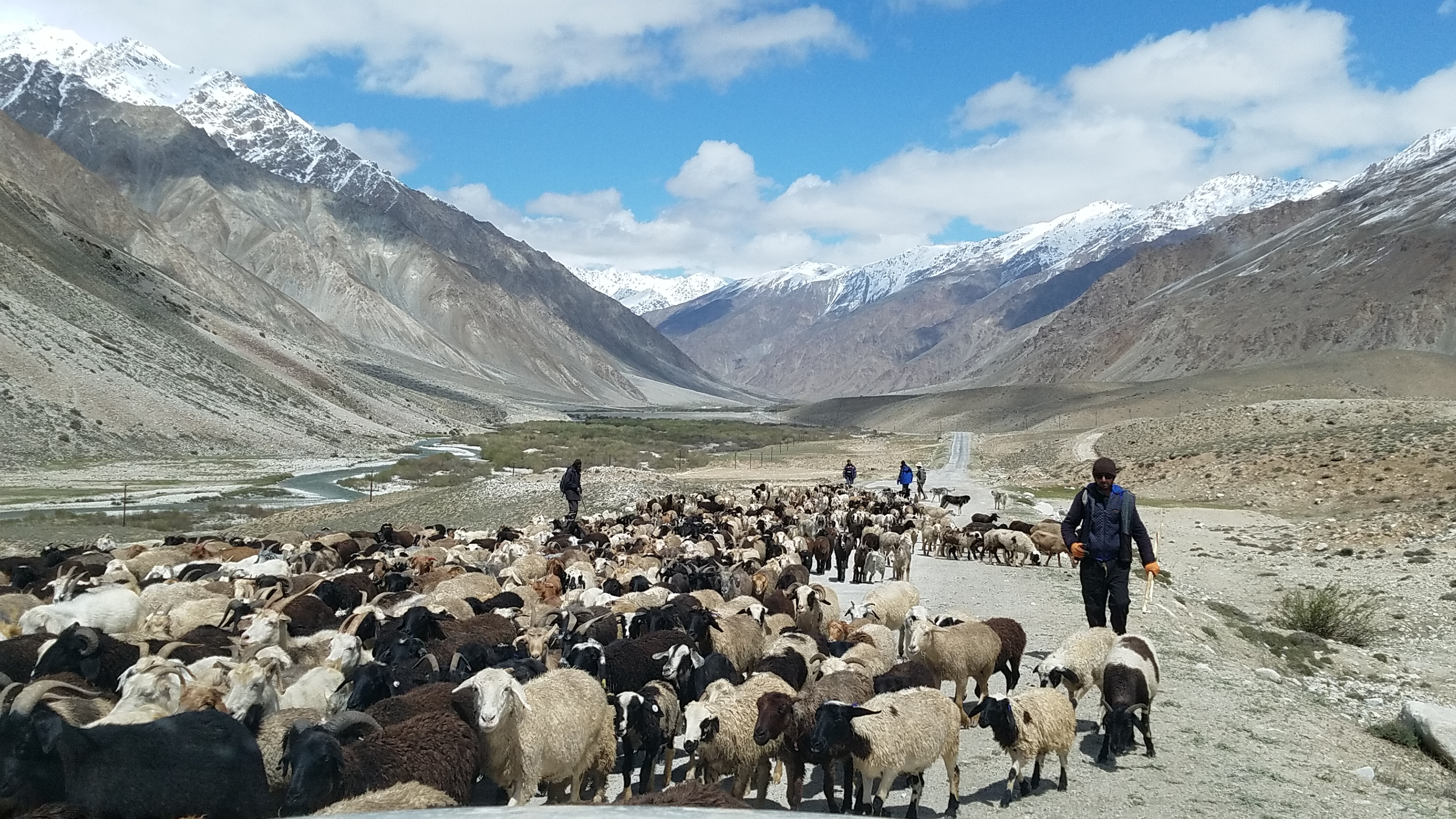 Livestock in Pamir Mountains with Herder