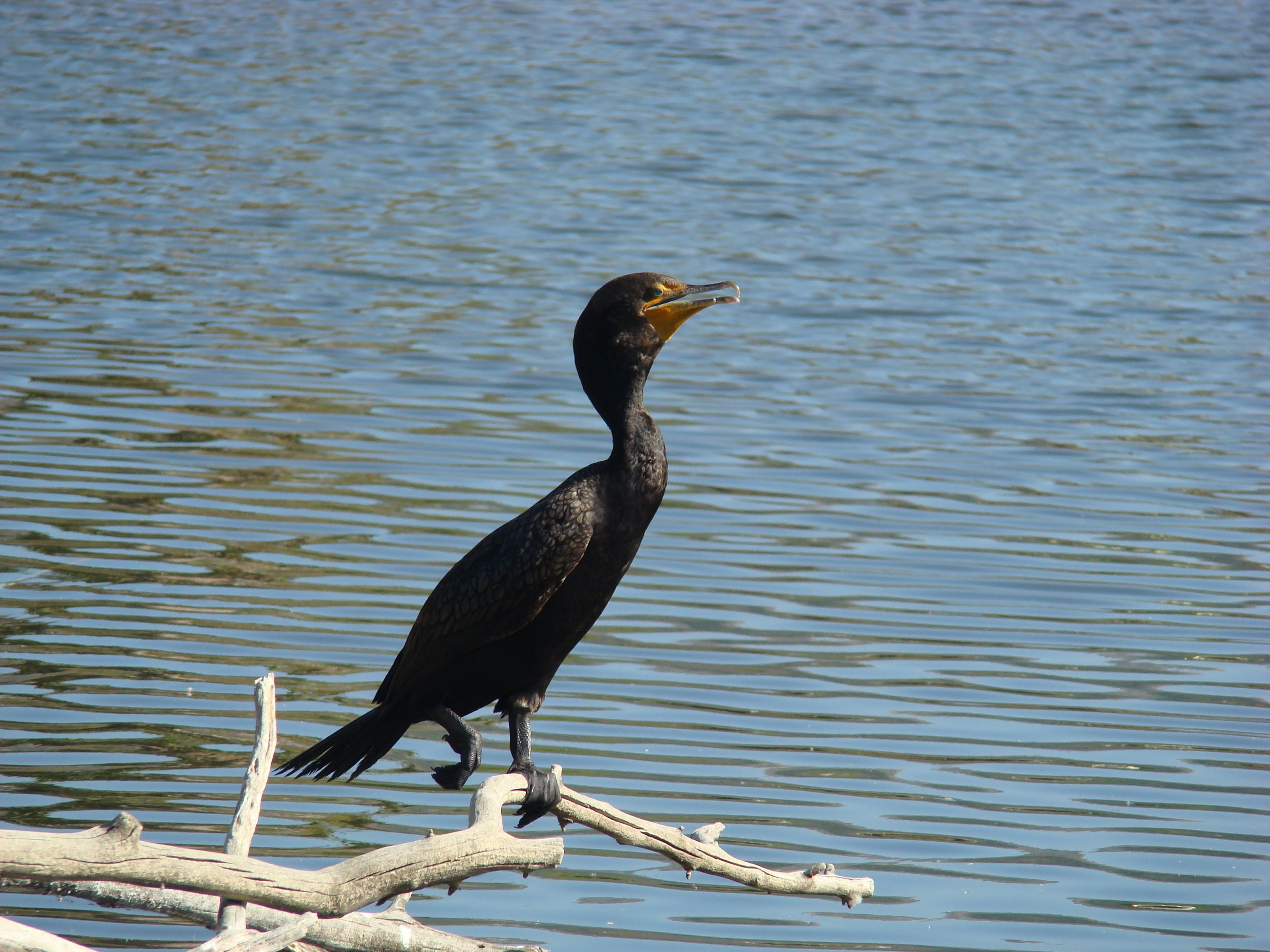 Double-crested cormorant shown perched near the water
