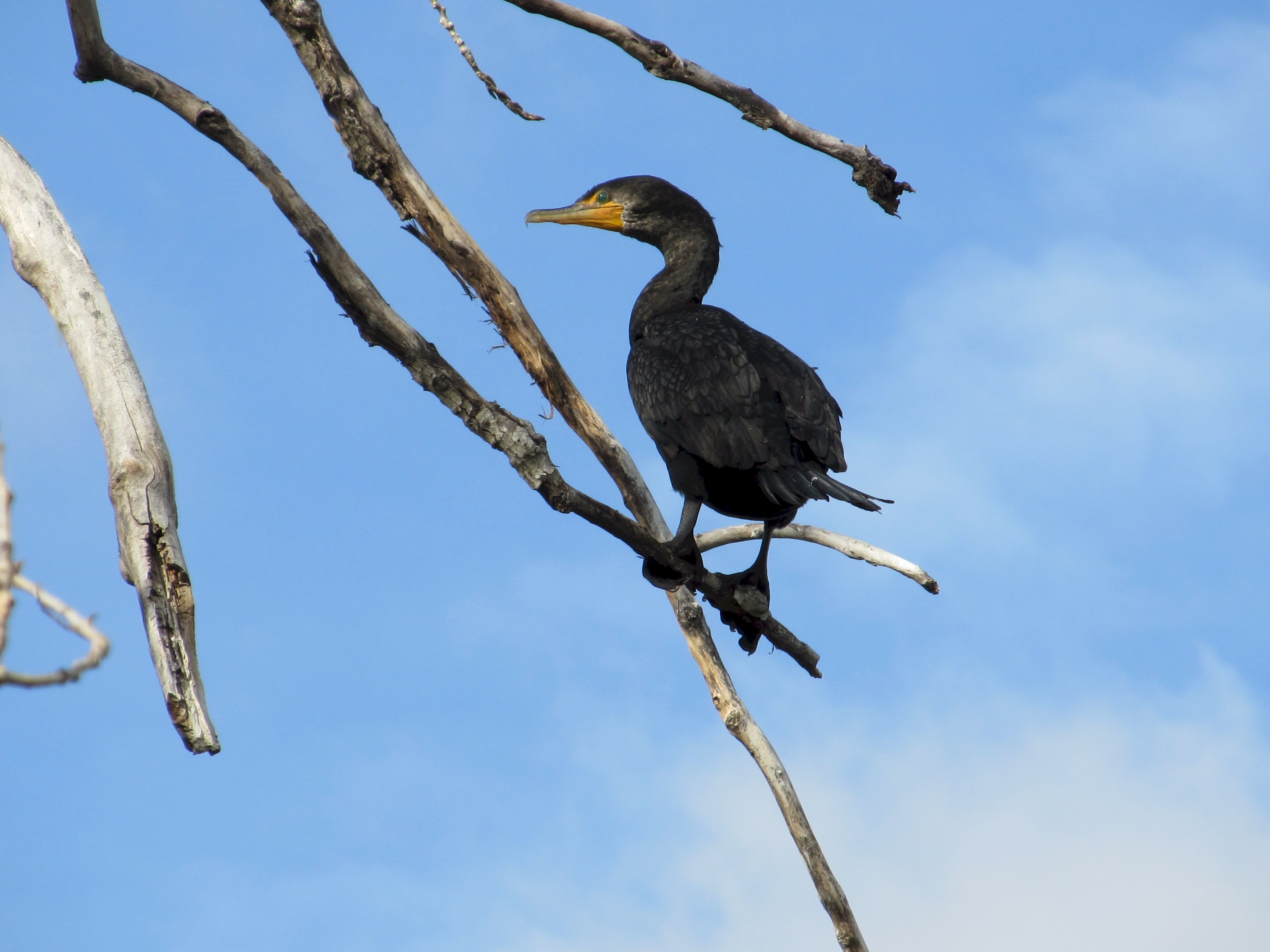 A Double-Crested Cormorant seen perched in a tree