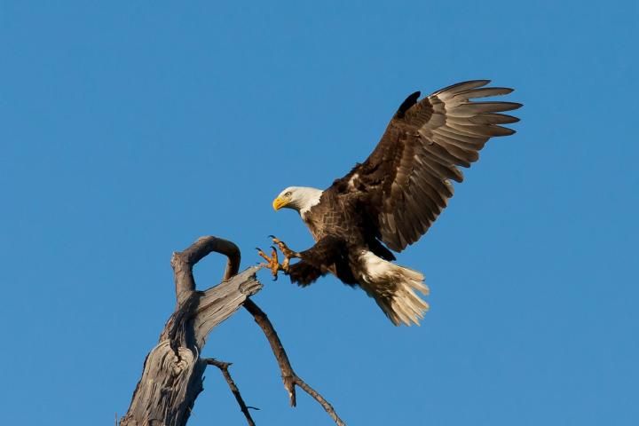 Bald Eagle landing on branch