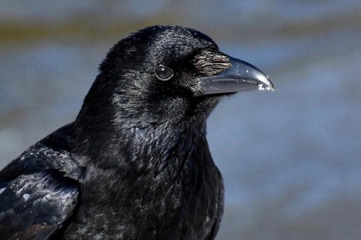 Close-up of a healthy American Crow