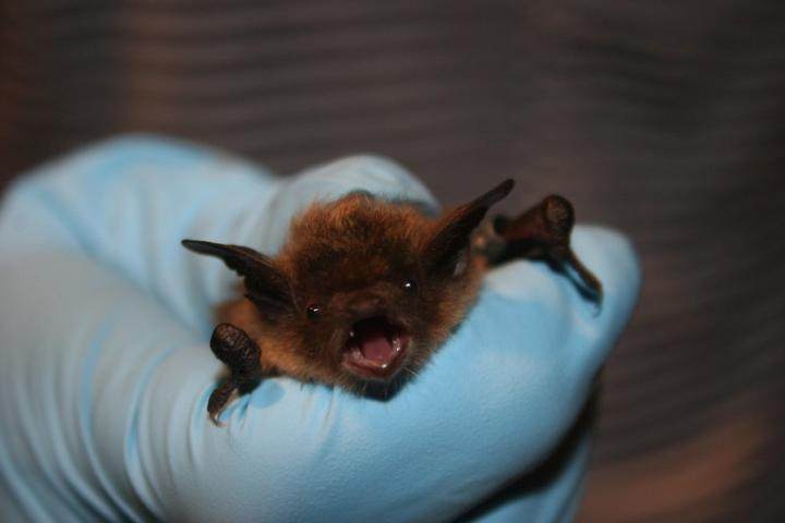 A small bat shown being gently held in hand