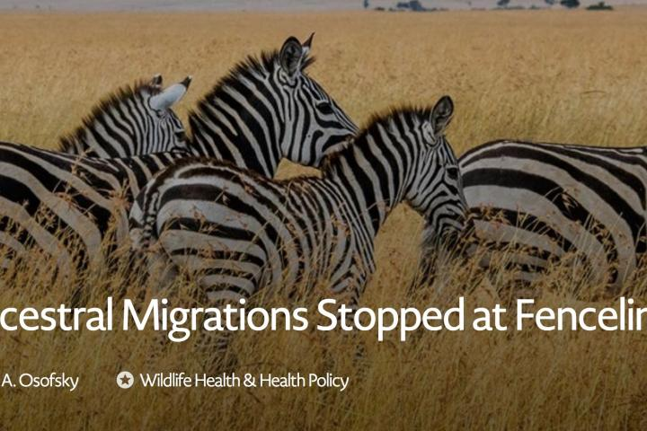 "A herd of Zebra on the African plain with text overlay stating ""Ancestral Migrations Stopped at Fencelines"""