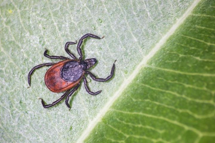 A taiga tick shown on a leaf