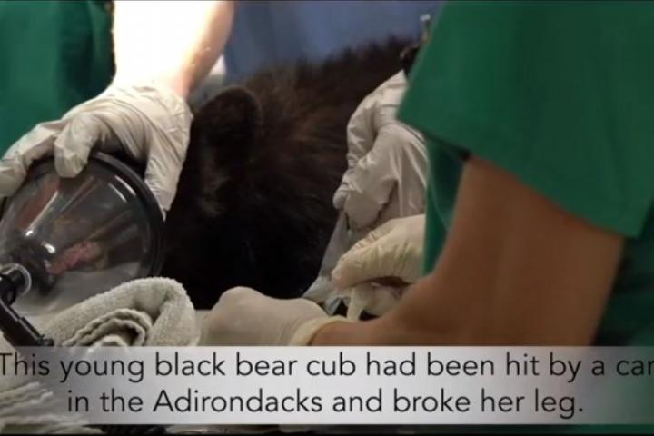 A Black Bear cub shown on the operating table at Cornell