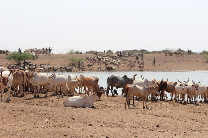 Cattle in Africa