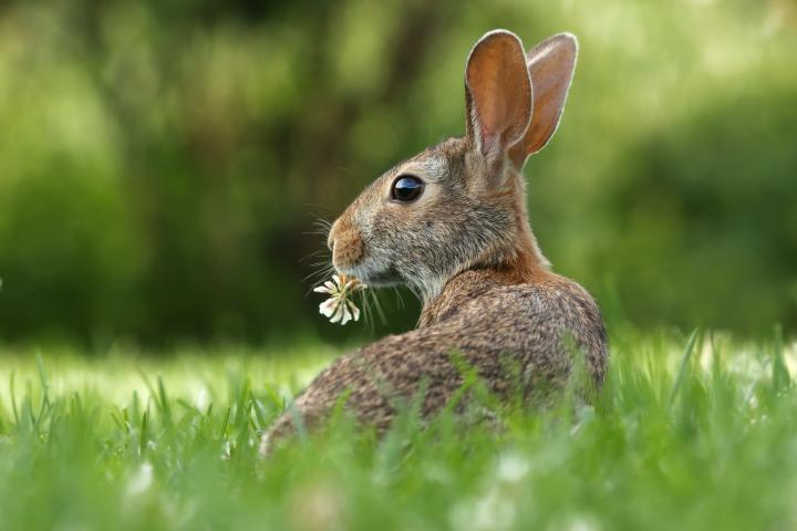 Cottontail rabbit in a field with flower in its mouth