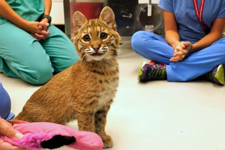 Baby bobcat sitting on floor