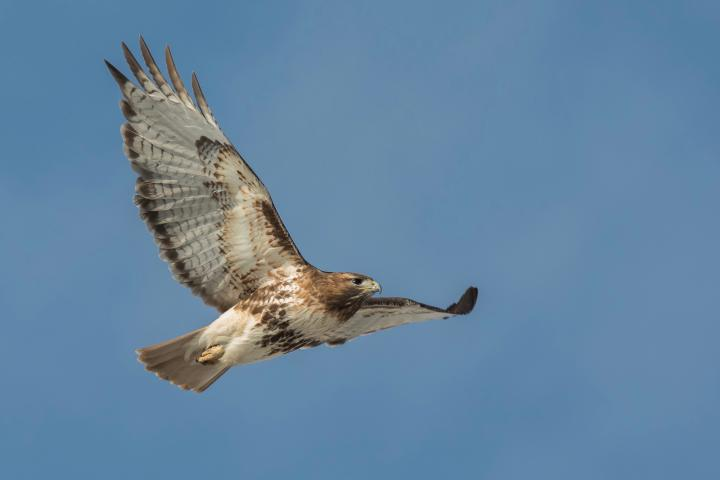 Cornell Red-tailed Hawk in flight by Christine Bogdanowicz 2020