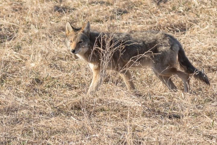 An Eastern Coyote seen trotting in a field