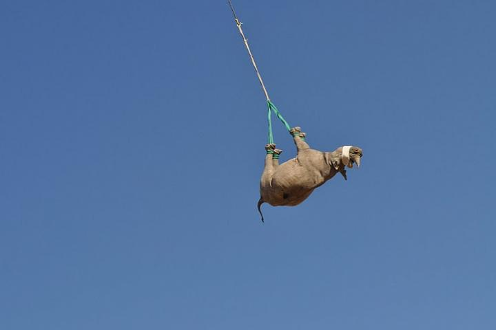 Rhino hanging upside down