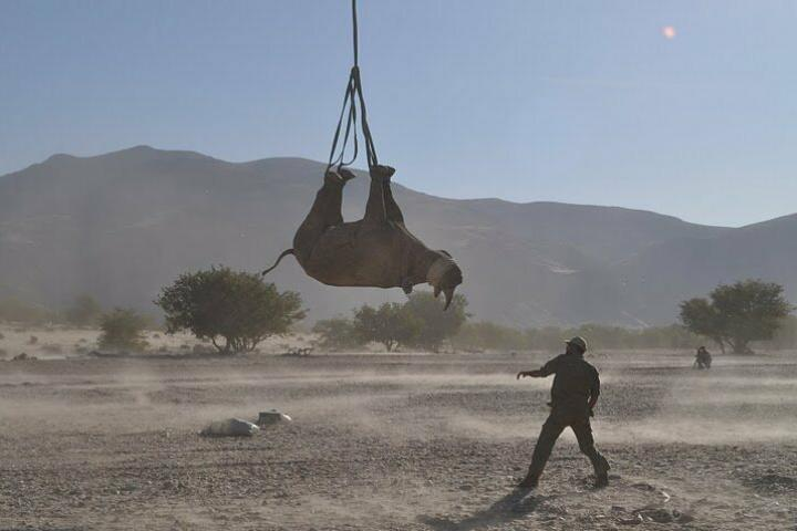 Rhino hanging upside down from helicopter