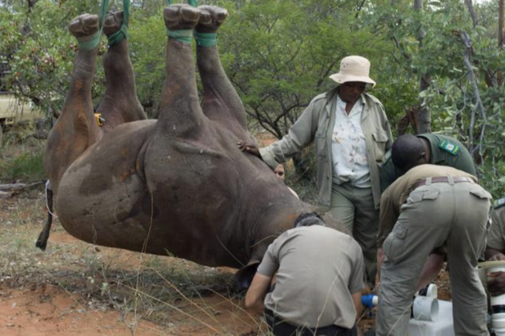 A rhino being prepped for airlifting with a team of researchers working together