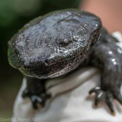 Amphibian sitting on a person's shoulder