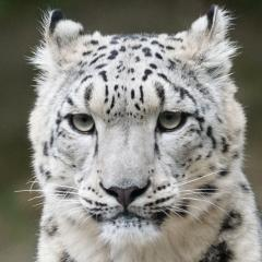 Headshot of a snow leopard.