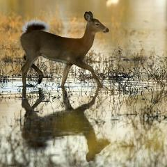 Doe walking in water.