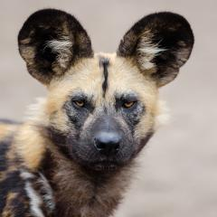 African wild dog looking at camera.