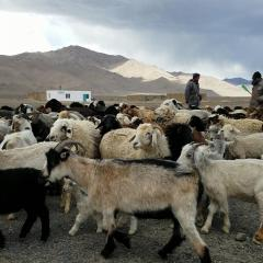 Livestock in Alichur village