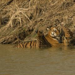 Tigers Cooling Off