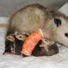 Mother opossum with forelimb in a cast and 4 babies under her.