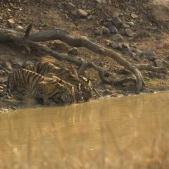 Tiger and cubs drinking water