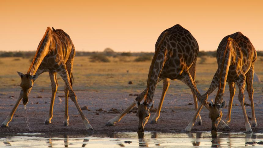 Three giraffes drinking from a river