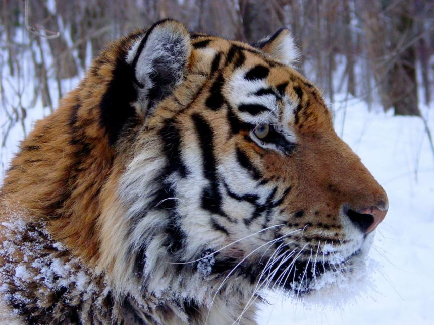 Amur tiger in winter