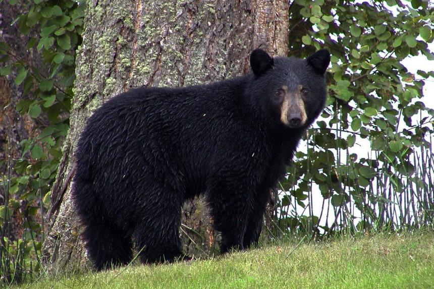 A healthy Black bear standing in front of a tree looking at the camera
