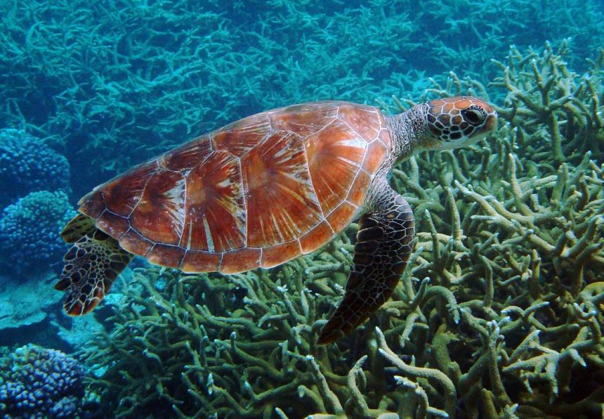 A sea turtle shown swimming above a coral reef