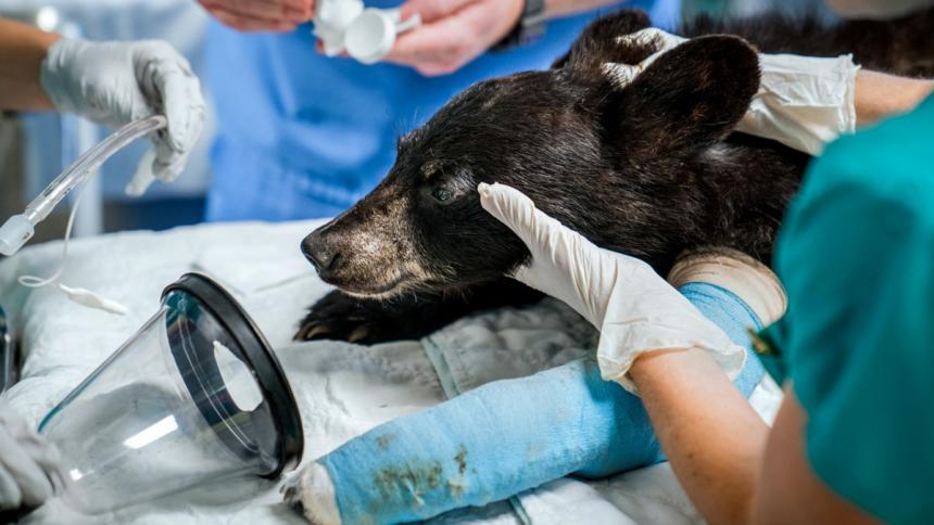 An injured Black bear cub shown with a cast on it's foreleg and being treated at Cornell