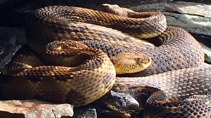 A Timber rattlesnake shown on a rocky substrate