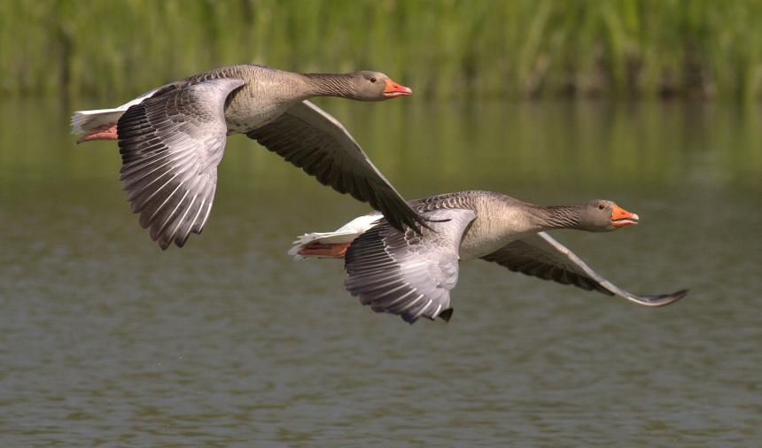 Two Gray geese in flight over water