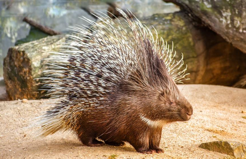 A porcupine shown on a rocky substrate