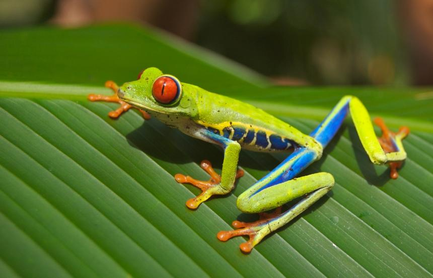 A brightly colored tree frog shown on a green leaf