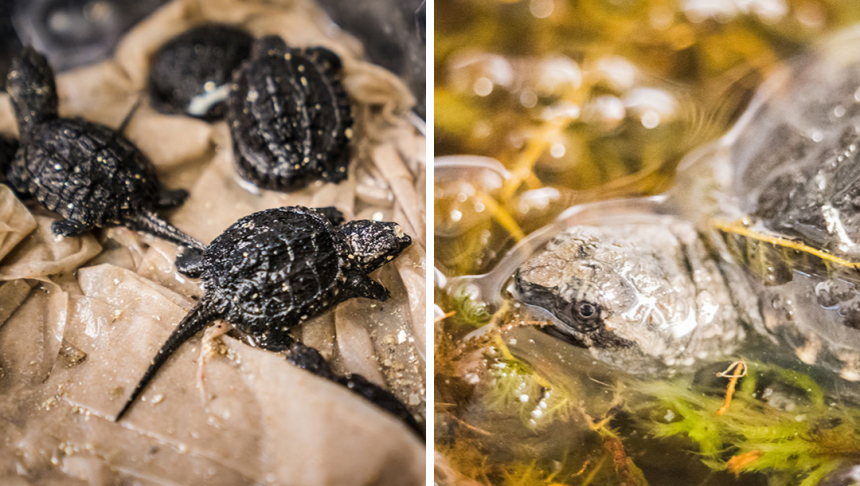 A collage of snapping turtle images