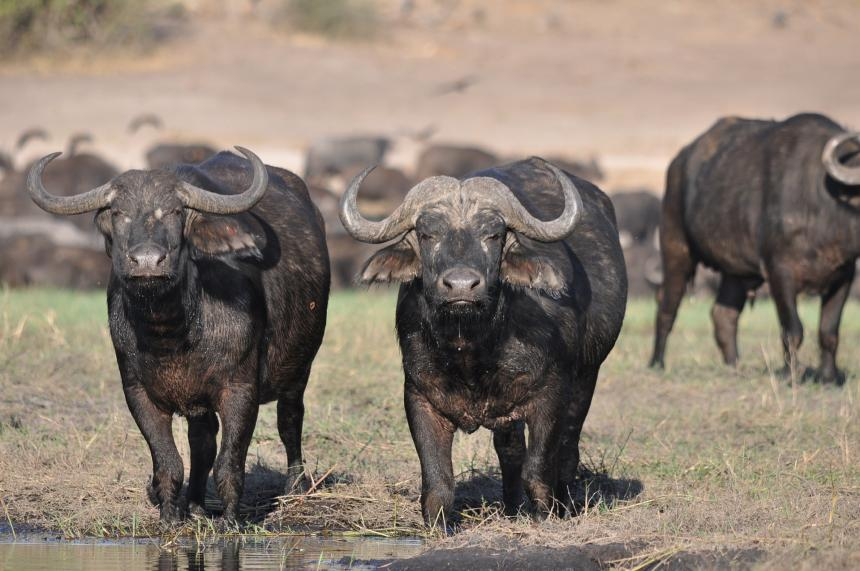 A herd of wildebeest shown coming towards the viewer