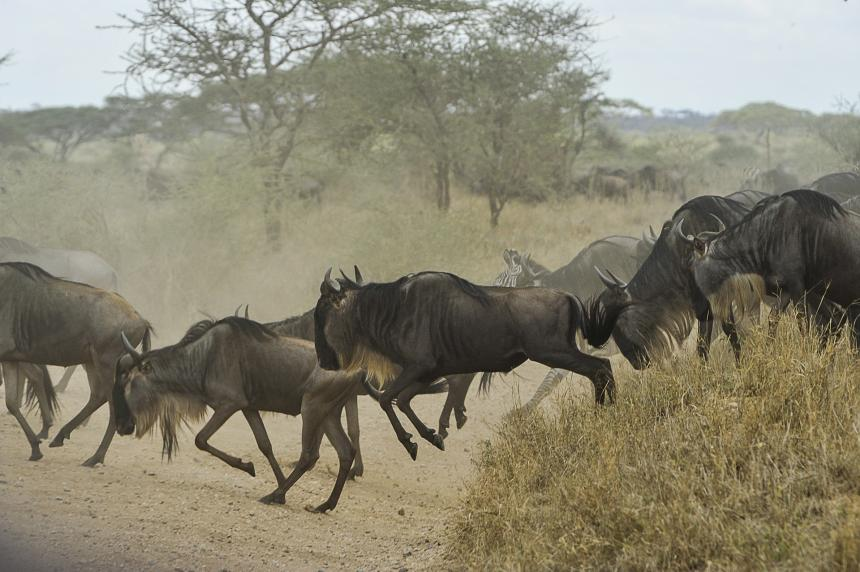 A herd of wildebeest shown crossing a road