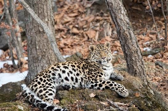 Far Eastern Leopard sitting on ground