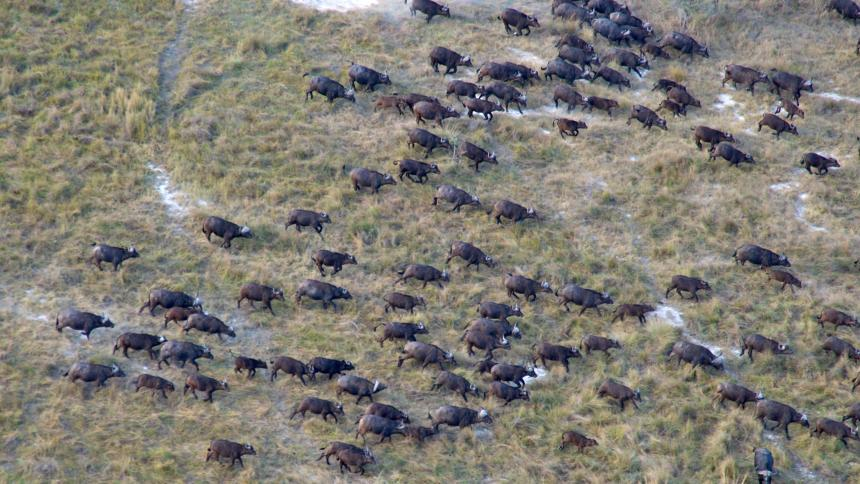 Wild buffalo on African plain