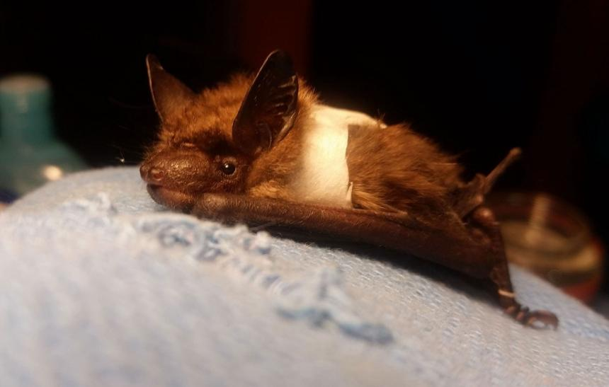 A Big brown bat with her wing wrapped to stabilize a wing injury