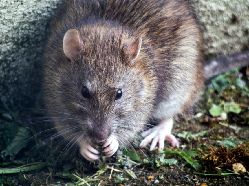 Close-up view of a Norway rat
