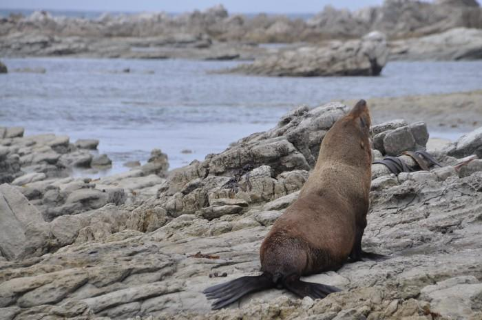 New Zealand fur seal on the South Island of New Zealand