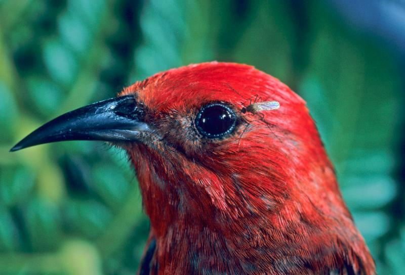 Hawai'ian Apapane bird with mosquito in eye
