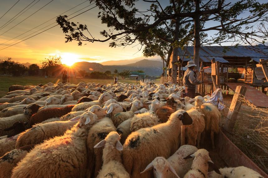 Flock of sheep with farmer in Asia