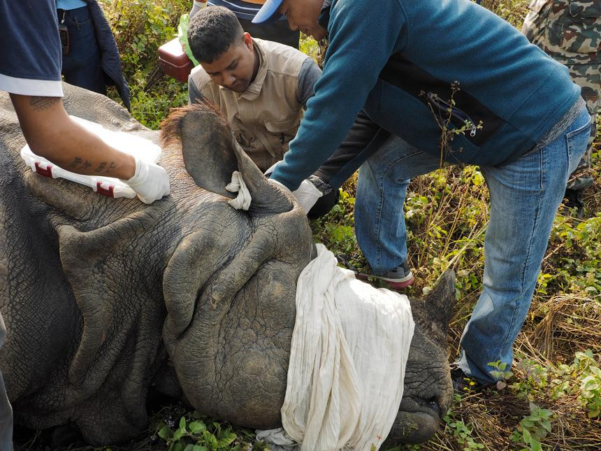Amir Sadaula collecting blood from an immobilized rhino.
