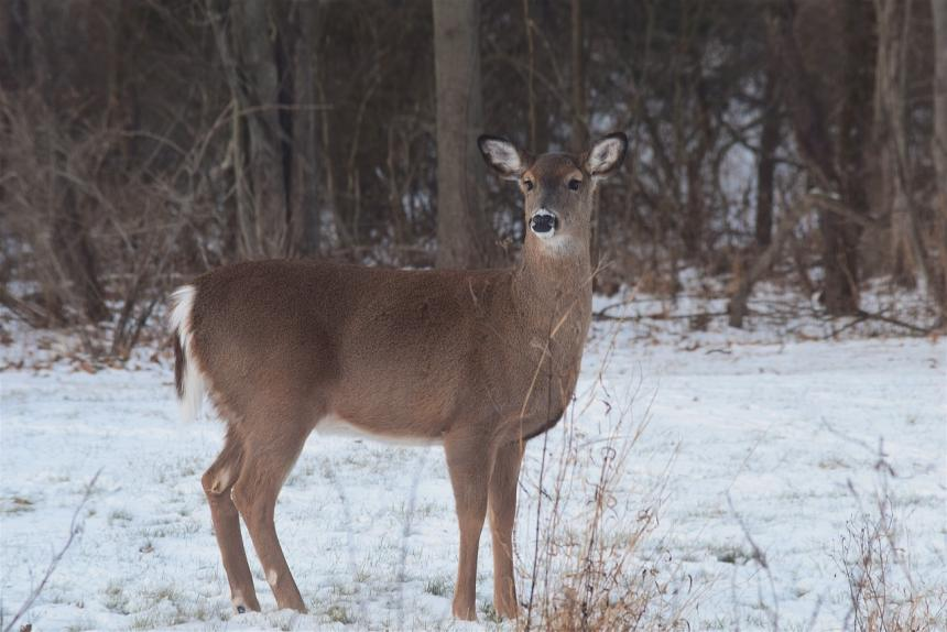 White-tailed deer standing in snow
