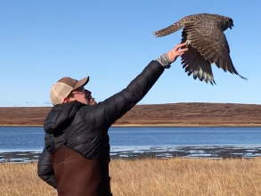 Juvenile Gyrfalcon being released