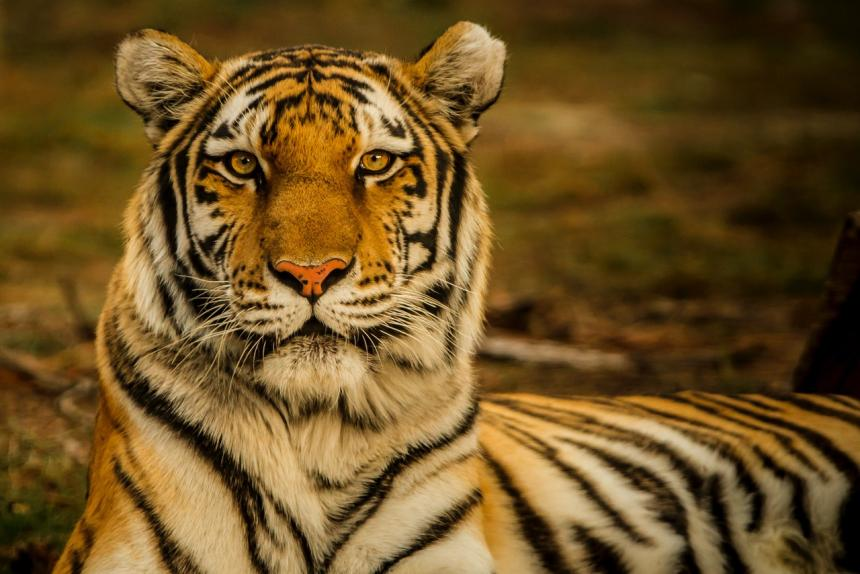 A Bengal Tiger looking very regal by Blake Meyer